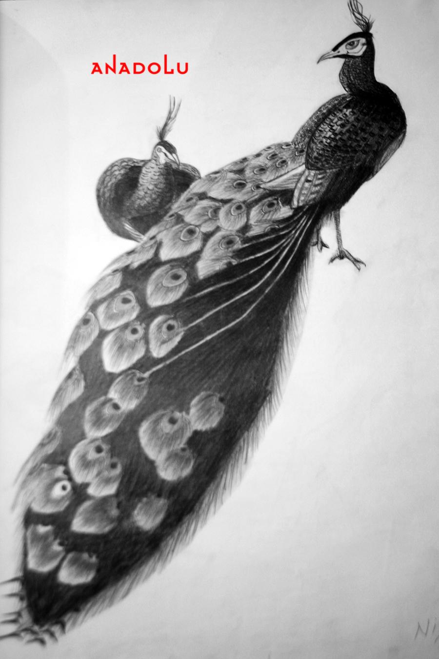 Tavuskuşu Çizimleri Çukurovada
